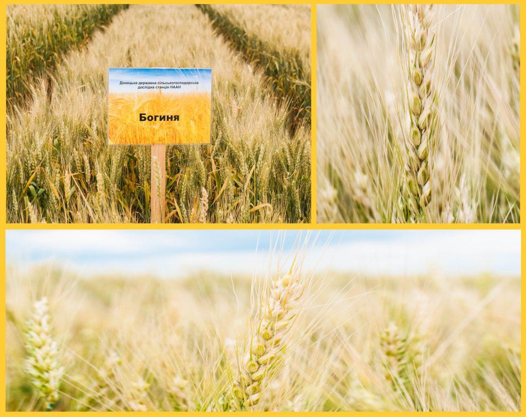 Озима пшениця Богиня